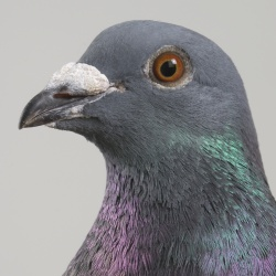 Pigeons know better