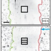 Accelerated endothelial wound healing on microstructured substrates under flow.